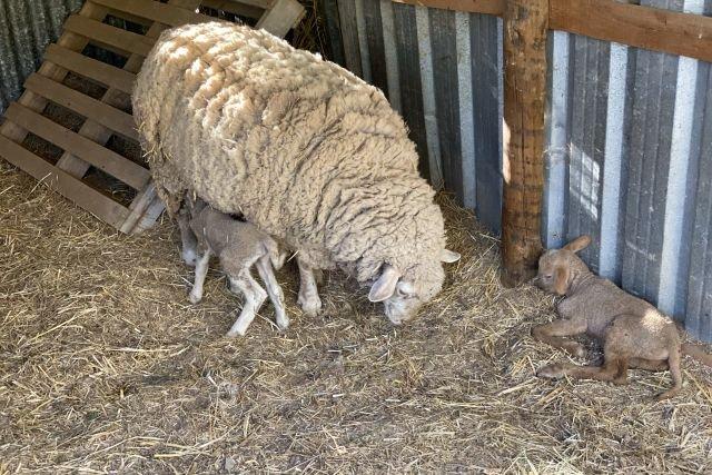 Hotel Quinta do Marco - schapen