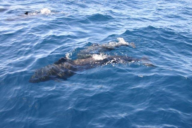 Fly-drive Tenerife - dolfijnen